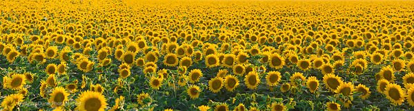 Sunflower Field Panorama #5