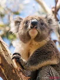 Wild koala on a eucalyptus tree, Australia