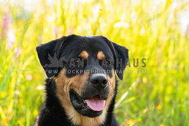 close up of rottweiler looking away