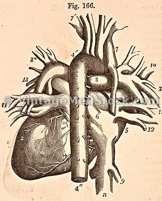 View of the Heart and Great Vessels from Behind