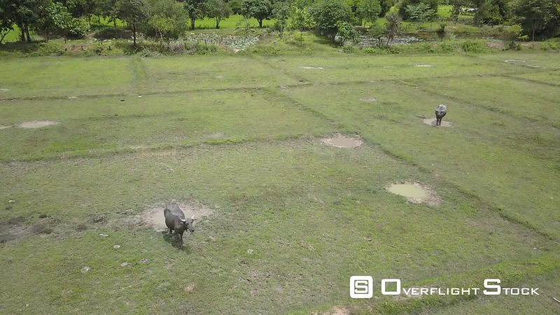 Aerial view of Buffalo in Rice Paddy of Champassak, filmed by drone, Laos