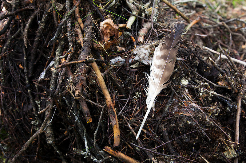 Buzzard´s Feather on Nest Droped From the Tree.