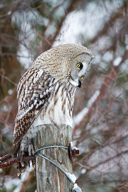 Great Grey Owl waiting for prey
