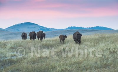 Bison-Buffalo_range_Montana-NAW_6424-August_09_2017