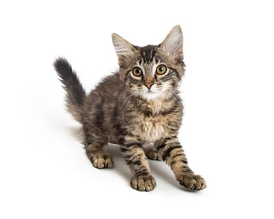 Cute Fluffy Tabby Kitten on White