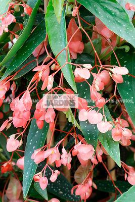 la phototh que les plus beaux jardins begonia maculata raddi b gonia bambou tamaya. Black Bedroom Furniture Sets. Home Design Ideas