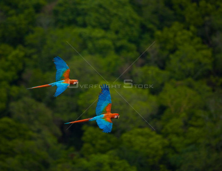 Green winged macaw (Ara chloroptera) pair flying, Chapada dos Guimaraes, Mato Grosso, Brazil