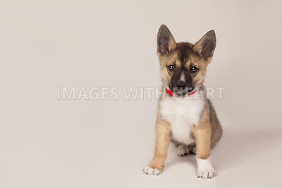 Puppy Fully Body Tan Background