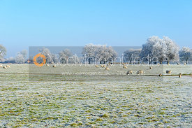Sheep grazing in frosty field  landscape, Rutland