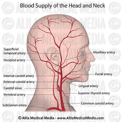 Blood supply of the head and neck labeled.