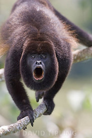 Black-mantled Howler (Alouatta palliata) male howling Soberiana NP Panama