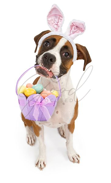 Boxer Dog Carrying Easter Basket