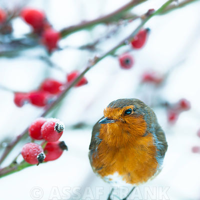 Robin photos