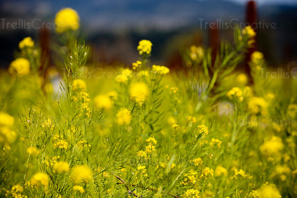 Trellis creative yellow flowers napa valley vineyard covered in yellow mustard flowers mightylinksfo