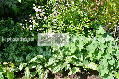 Association de vivaces : Alchemilla mollis, Pulmonaria spp., Astrantia major. Paysagiste : Peter Reader, Hampton Court, Angleterre