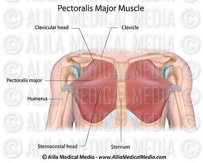pectoralis major muscle diagram alila medical media | bones, joints and muscles images under chin muscle diagram #9