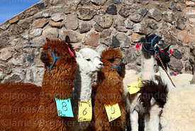 Alpacas and a llama (R) that have been selected for participation in fair tagged with category, sex and number, Curahuara de Carangas, Bolivia