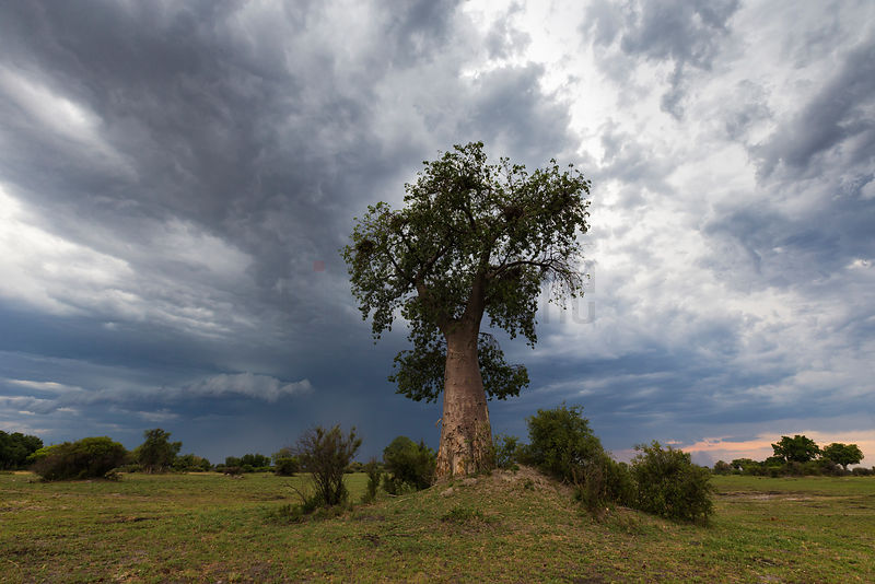 Baobab Tree against Dramatic Clouds