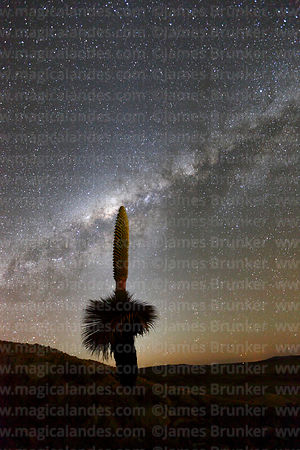 Puya raimondii in flower with Milky Way Galactic Centre, Bolivia