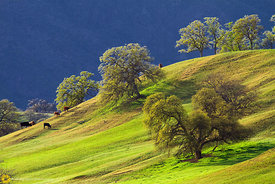 Cows Grazing on a Hillside #1