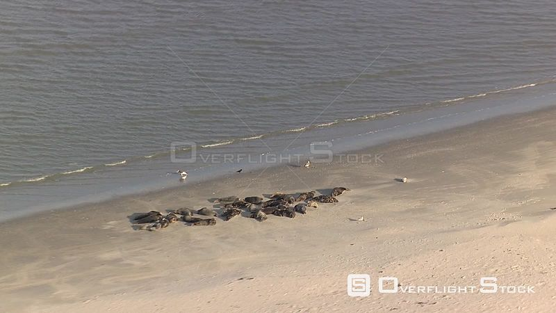 Seals on a Beach Texel  Netherlands