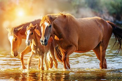 Horse Family Walking in Lake at Sunrise