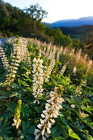 White Lupines #8