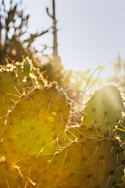 Prickly Pear Cactus With Sun Flare