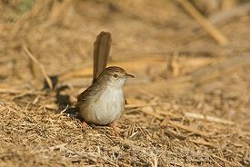 Graceful Prinia Prinia gracilis Hula Israel winter