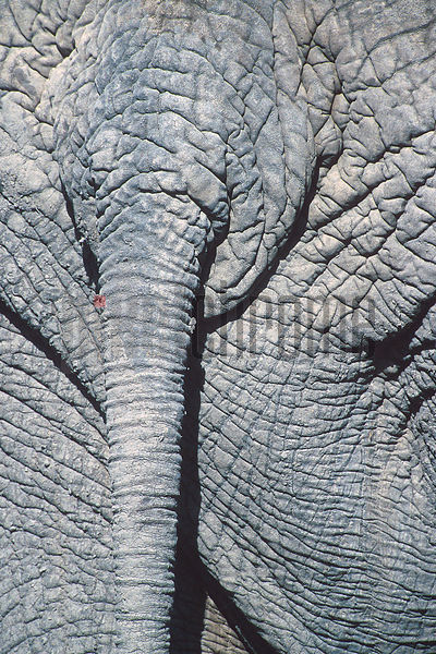 Close-up of Elephant's Tail