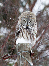 Better Watch Out! Great Grey Owl