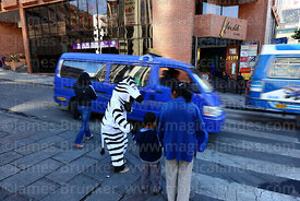 A zebra helps pedestrians cross the road, La Paz, Bolivia