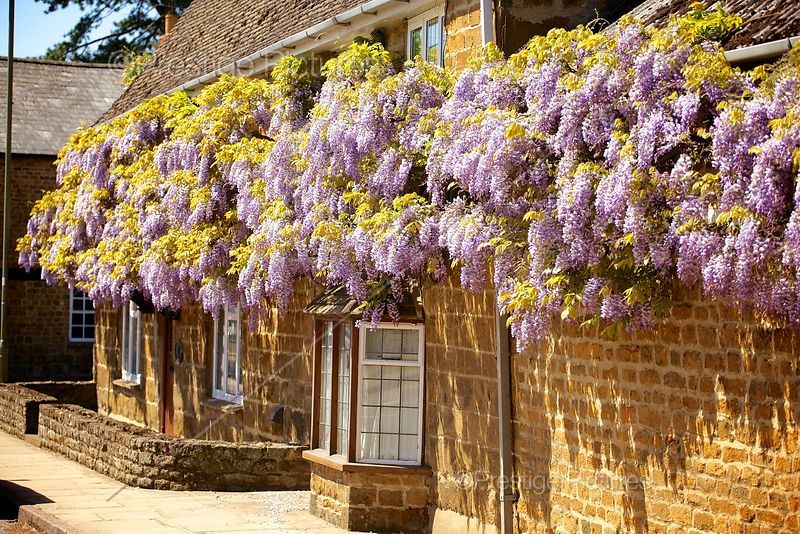 Wisteria Climbing Across a Stone Cottage in Oxfordshire
