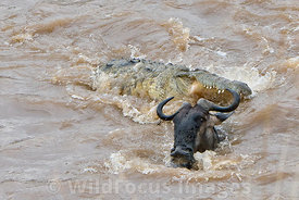 Nile crocodile chasing a Wildebeest swimming across the Mara River, Connochaetes mearnsi/albojubatus, Masai Mara National Reserve, Kenya; Landscape