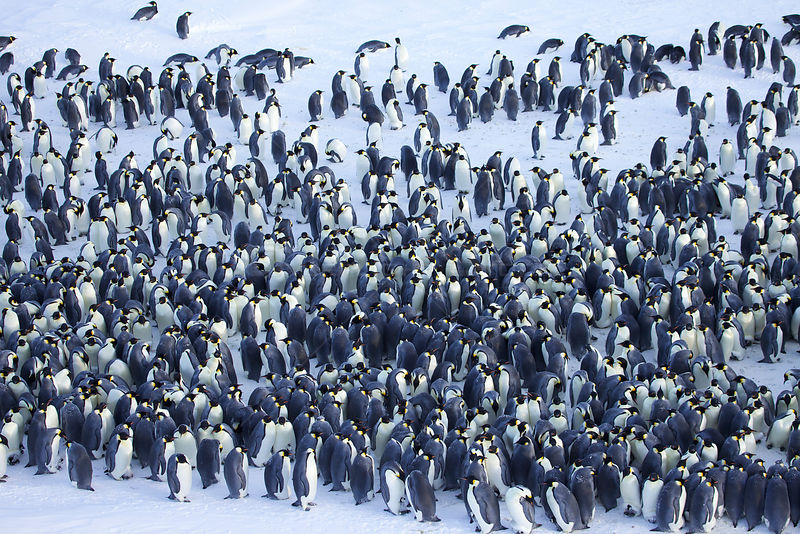 Emperor penguin (Aptenodytes forsteri) colony with huddle in the middle, some individuals with chicks, Antarctica, August.