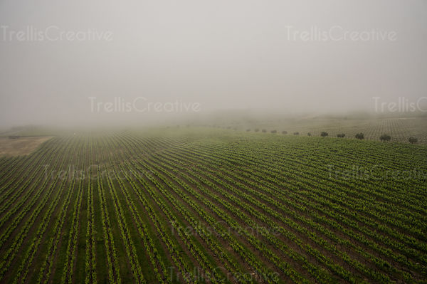 An aerial view of a foggy Sonoma vineyard