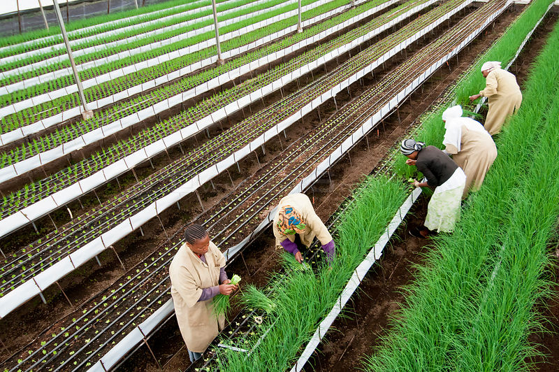 Women harvesting Chives (Allium schoenoprasum) in greenhouse on commercial farm in Tanzania, East Africa. October 2011.