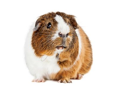 Cute Guinea Pig On White Looking Up