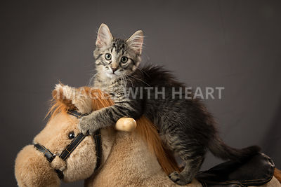 kitten playing on a hobby horse