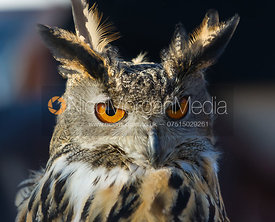 Chloe, the Atherstone's Eagle Owl