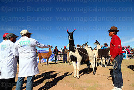 Judges discuss the qualities of a llama during competition, Curahuara de Carangas, Bolivia