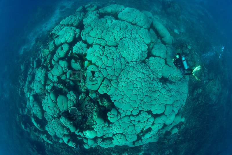 Diver swimming over massive boulder / Cauliflower coral (Gardineroseris planulata) Buyat Bay, Sulawesi, Indonesia
