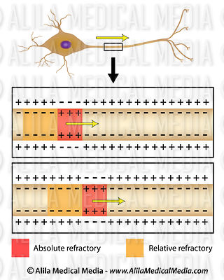 Action potential conduction in axon