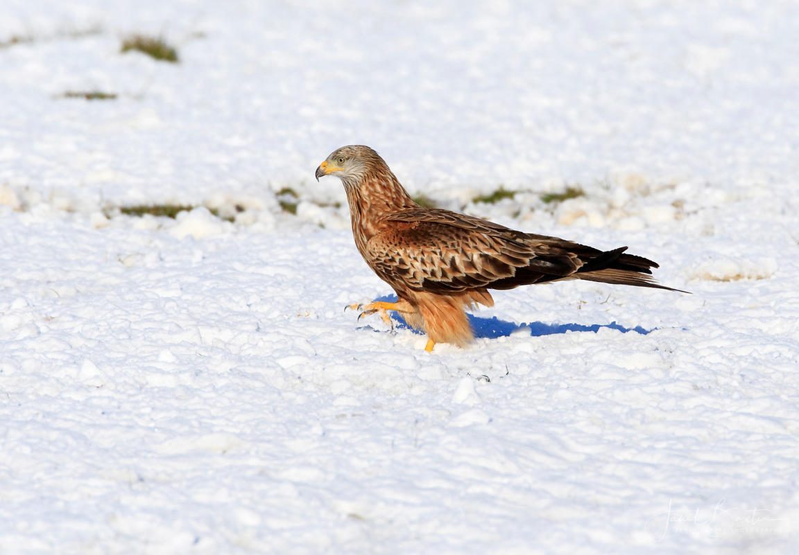 Red kite feeding on the ground