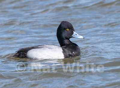 Scaup-NAW_1673-March_04_2017
