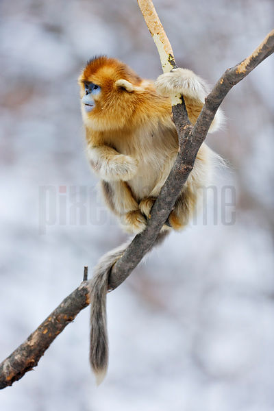 Golden Monkey Sitting on Branch