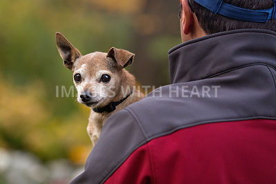 Senior Chihuahua looking over man's shoulder
