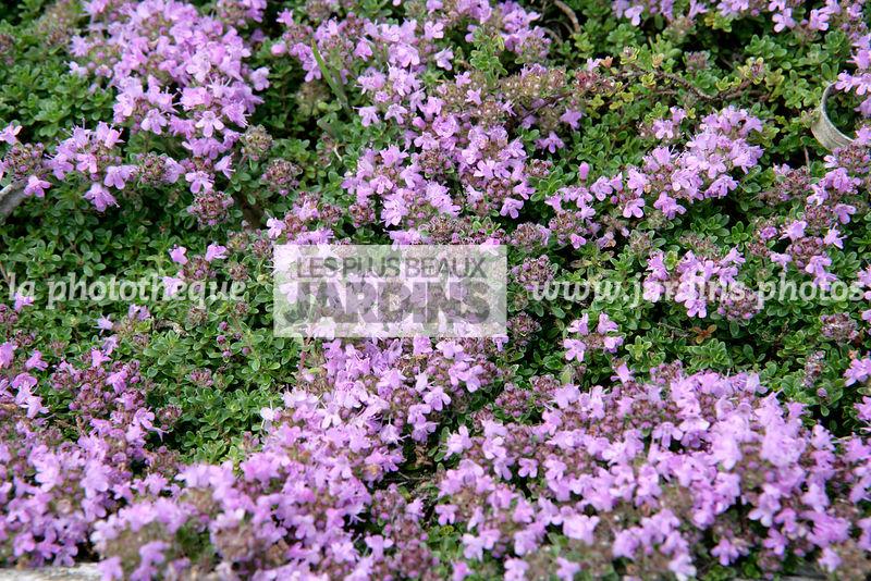 la phototh que les plus beaux jardins thymus praecox coccineus thym rampant serpolet. Black Bedroom Furniture Sets. Home Design Ideas