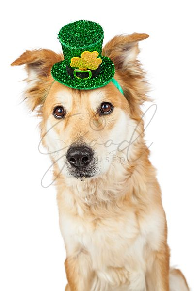 Large Crossbreed Dog Wearing St. Patrick's Hat
