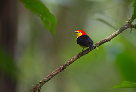 Wire-tailed Manakin Pipra filicauda male at lek Nr Iquitos Amazon Peru